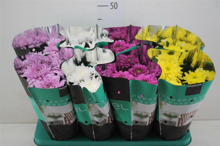 <h4>Chrysanth Zembla Gemengd</h4>