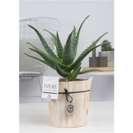 <h4>Aloe Arborescens In Pure Wood</h4>