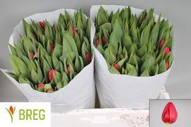 <h4>Tulipan Renegade</h4>
