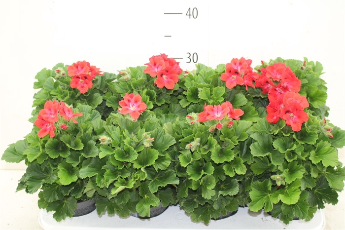<h4>Pelargonium Donna Rosanna</h4>