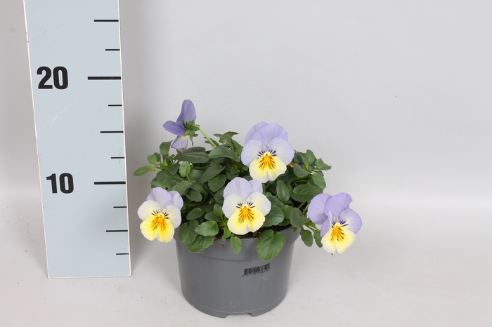 <h4>Viola Coolwave Blueberry Swirl</h4>