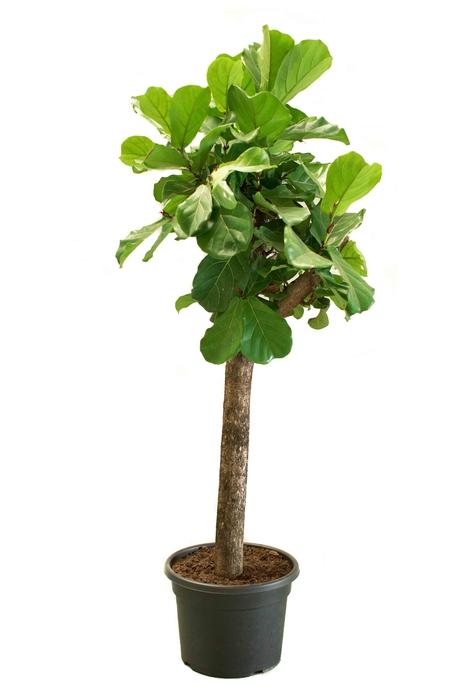 <h4>Ficus Lyrata 46Ø 220cm</h4>