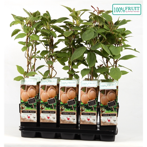 <h4>Actinidia deliciosa hayward - Female - 100%FRUIT</h4>