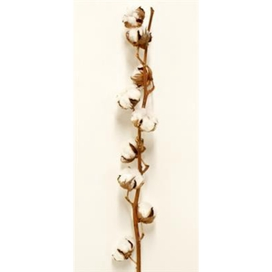 Algodón Gossypium(coton) 6