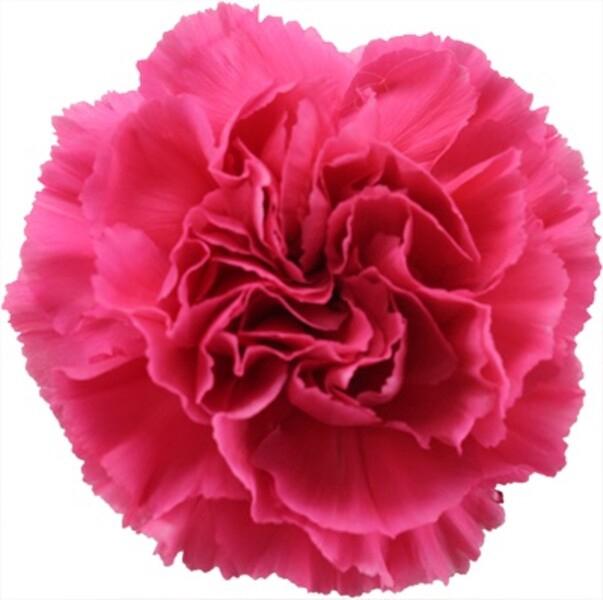 <h4>Dianthus st. Tonic Golem</h4>