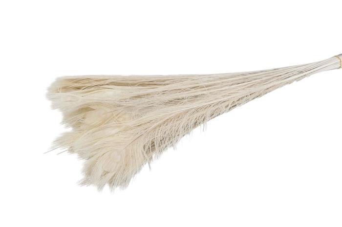 <h4>Feather Peacock ( Pauwenveren ) Bleached</h4>