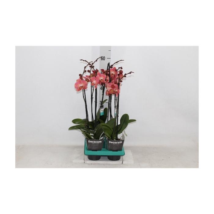 <h4>Phalaenopsis   ...orange</h4>