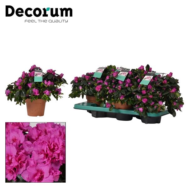 <h4>Azalea 14 cm Himalaya Decorum</h4>
