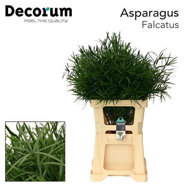 <h4>ASPARAGUS falcatus 65cm (50) dc</h4>