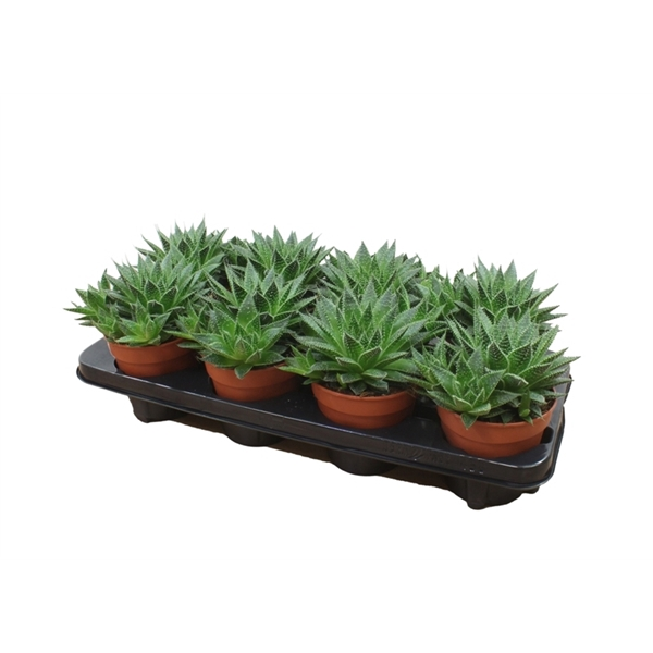 <h4>Aloe Tabo - Premium</h4>