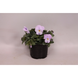 Viola cornuta F1 Pink Lavender