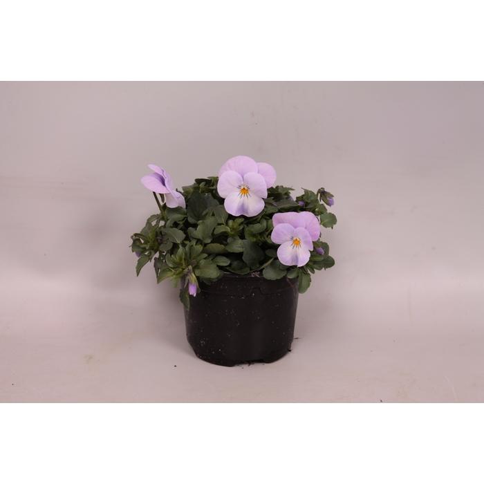 <h4>Viola cornuta F1 Pink Lavender</h4>