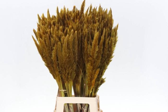<h4>Cortaderia Fluffy Geel (P. Bos)</h4>