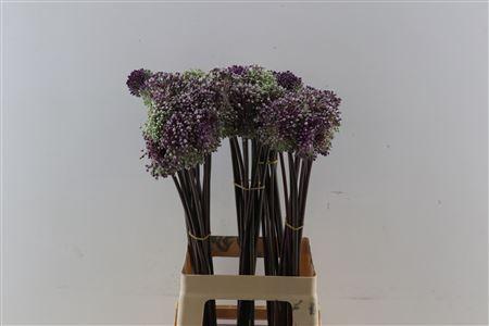 <h4>Allium Summer Drum 70cm</h4>