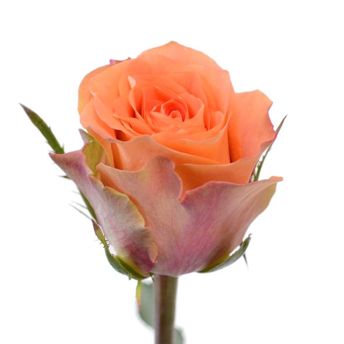 <h4>Rose Florentine</h4>
