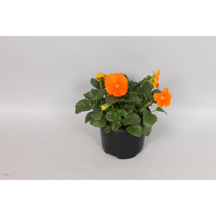 <h4>Viola cornuta F1 Deep Orange</h4>