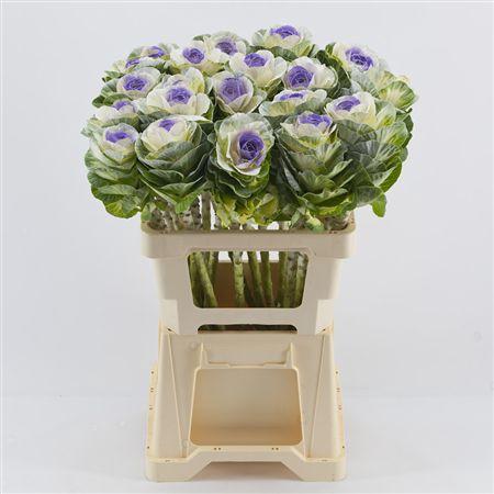 <h4>Brassica White-purple</h4>