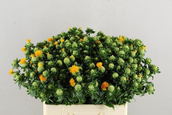 <h4>Carthamus Oranje</h4>