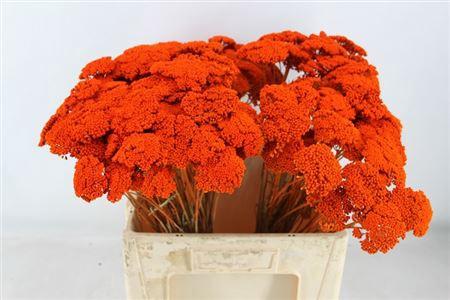 <h4>Achillea Oranje</h4>