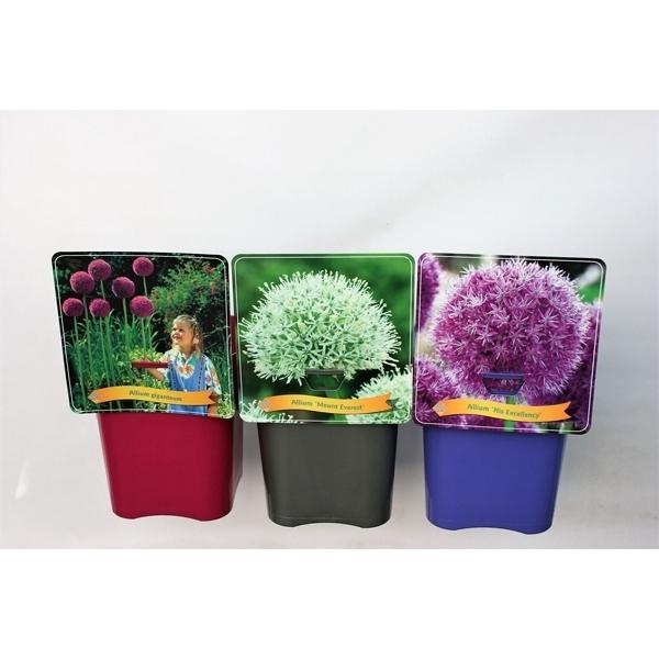 <h4>Allium Mix Laag C5</h4>
