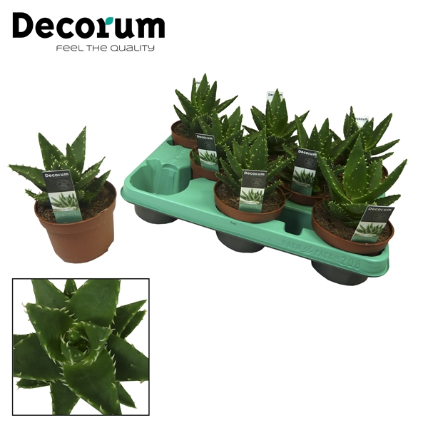 <h4>Aloe perfoliata (Decorum)</h4>