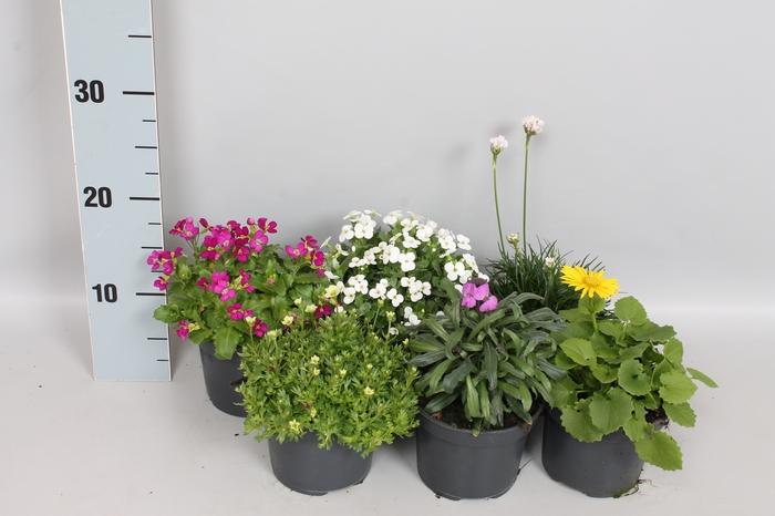 <h4>vaste planten 12 cm Diverse voorjaarbloeiers</h4>
