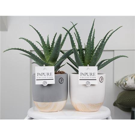 <h4>Aloe Arborescens Keramiek Emily</h4>