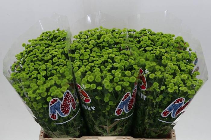 <h4>Chrysant santini Mad Brits Green</h4>