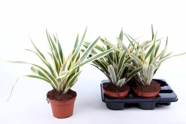 Ananas Bont not flowering 15Ø 50cm