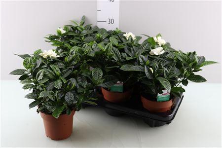 <h4>Gardenia</h4>