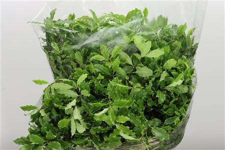 <h4>Dec Pittosporum Green</h4>