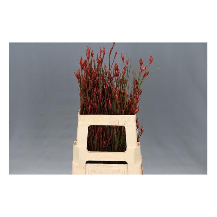<h4>BELL REED RED</h4>