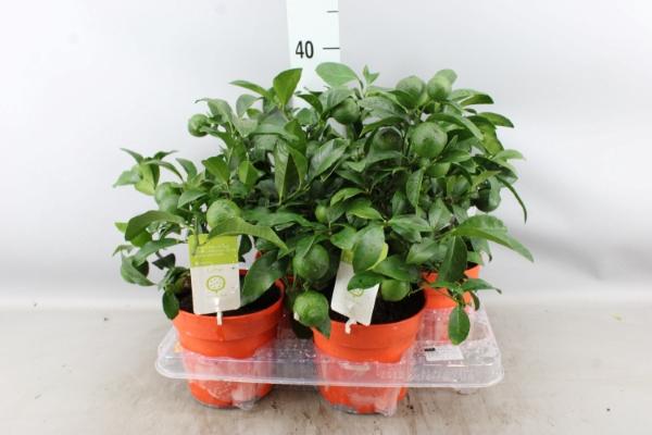 <h4>Citrus aurantifolia</h4>