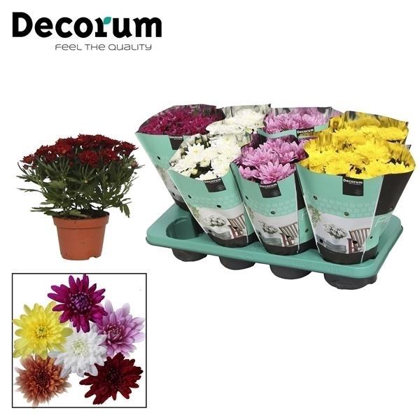<h4>Chrysanthemum Chrystal mix</h4>