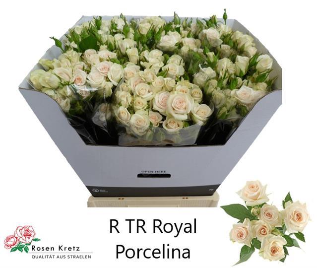 <h4>R TR ROYAL PORCELINA</h4>