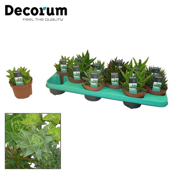 <h4>Aloe mix 6 soorten (Decorum)</h4>