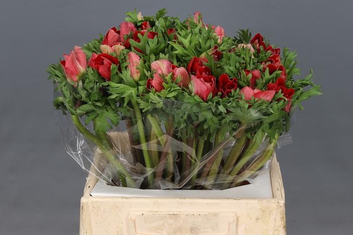 <h4>Anemone Mistral Plus Rood Super</h4>