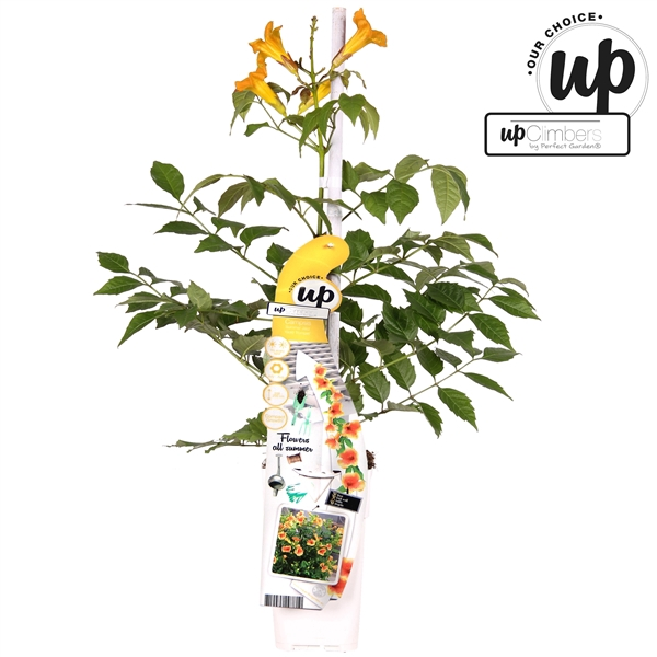 <h4>Campsis Summer Jazz Gold Trumpet - Upclimbers Our Choice</h4>