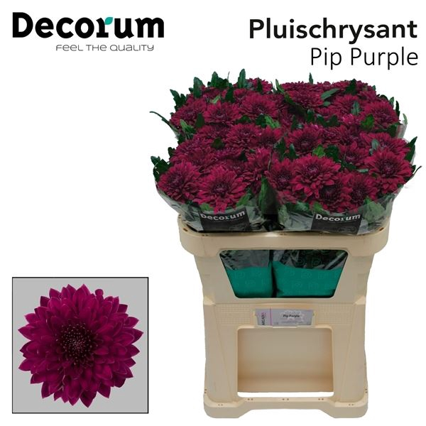 <h4>Chrysanthemum PL 'Pip Purple'</h4>