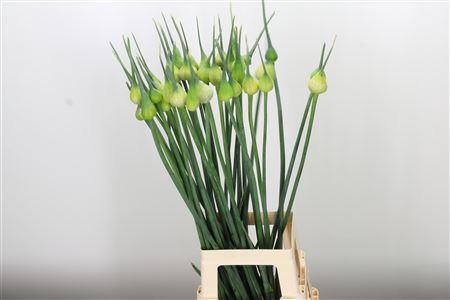 <h4>Allium Kenton ( Puntmuts )</h4>
