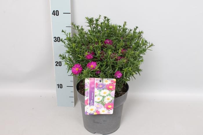 Vaste planten 19 cm  Aster Amethyst
