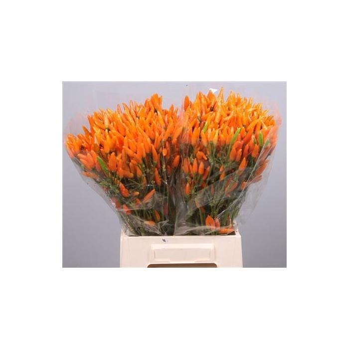 <h4>Cap Orange Fire</h4>