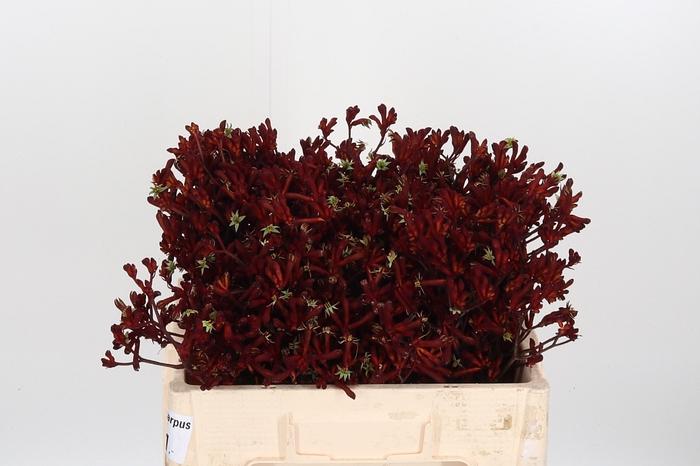 <h4>Anigozanthos Bush Ruby</h4>