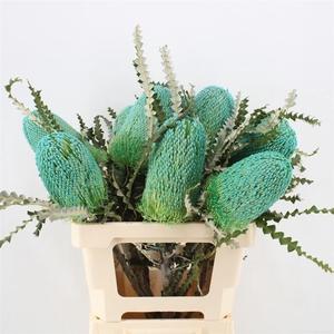 Banksia Speciosa Turquoise