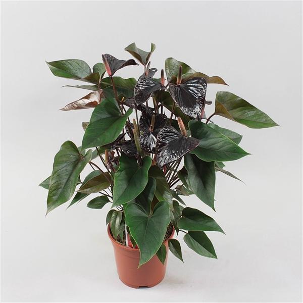 <h4>Anthurium Black Beauty</h4>