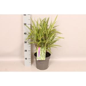 vaste planten 19 cm  Carex phyllocephala