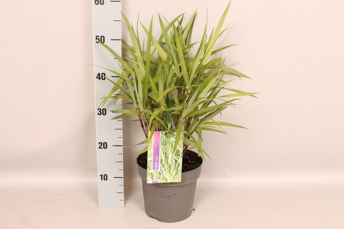 <h4>vaste planten 19 cm  Carex phyllocephala</h4>