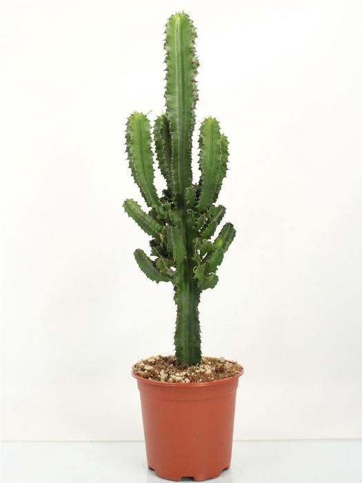 <h4>Euphorbia Eritrea</h4>