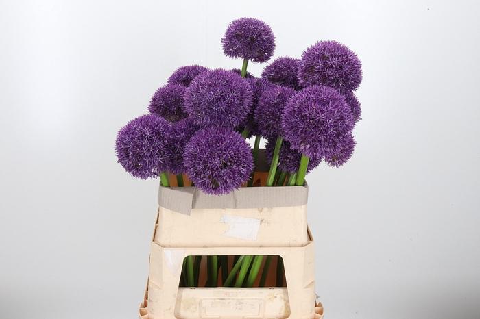 <h4>Allium Grootbloemig Xxl</h4>