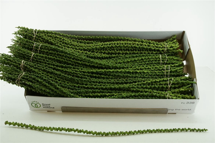 <h4>Caryota String/bunch</h4>